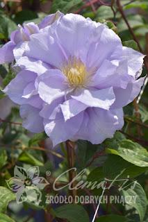 http://www.clematis.com.pl/ru/encyklopedia?plantid=371&view=plant