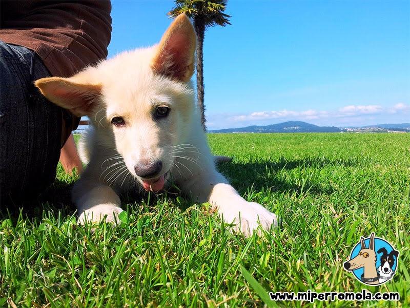 Can de Palleiro cachorro en el césped del Paseo Marítimo de Sada