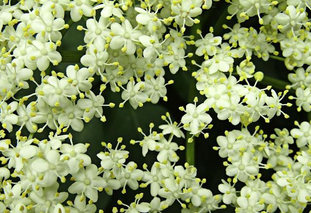 Gambar bunga melati  keren