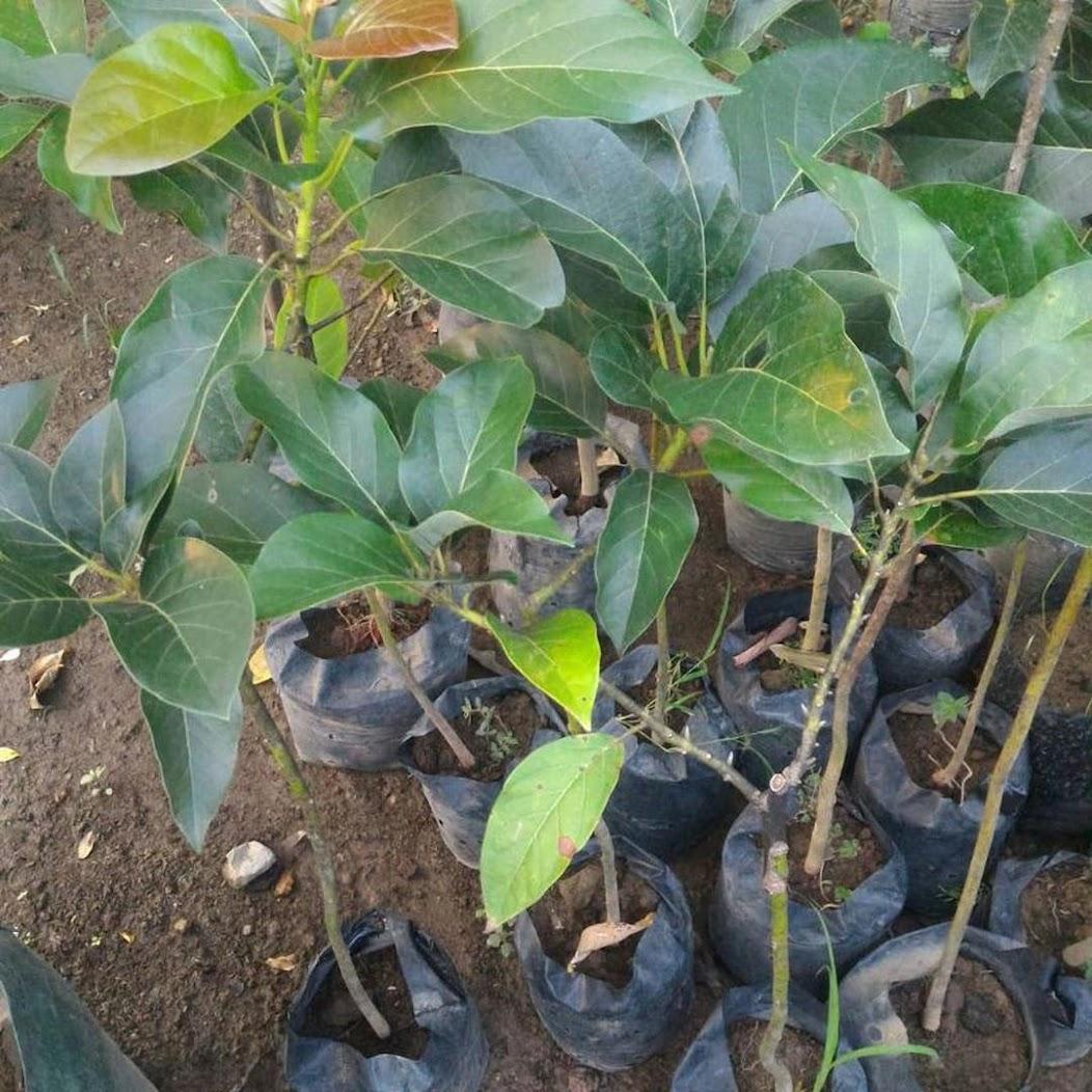 Bibit buah alpukat miki depok hasil okulasi cepat berbuah Jawa Timur