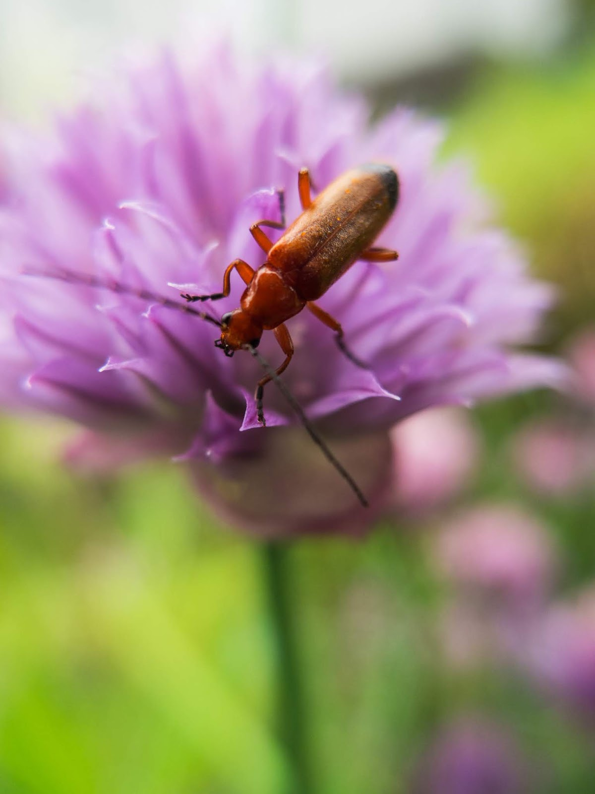 A macro of a Common Red Soldier Beetle on a purple Chive flower head.
