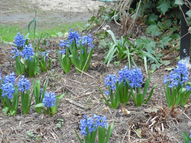 hiacynty wśród paproci wiosną