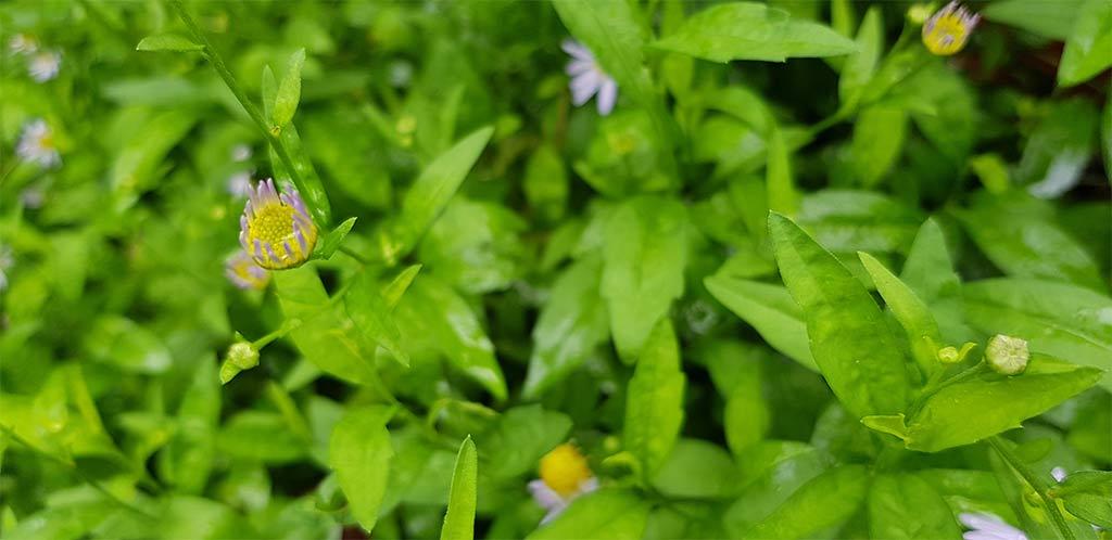 ดอกตูมต้นเดซี่