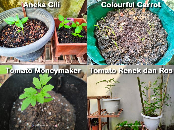 tanam cili, tomato dan lobak di rumah