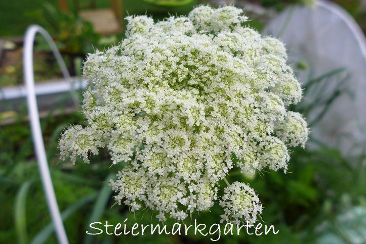 Karottenblüte-Steiermarkgarten