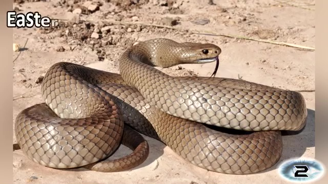 The Eastern Brown Snake, most venomous snake, most poisonous snake, top ten venomous snake, top ten poisonous snake