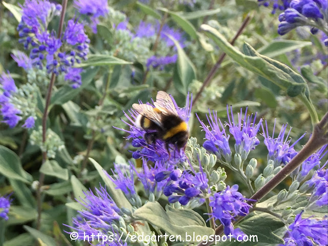 Hummel auf blau-violetter Blüte