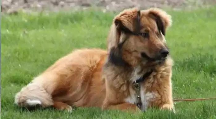 Australian Retriever Dog Breed