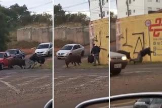 Porco ataca e morde motoqueiro em São Paulo