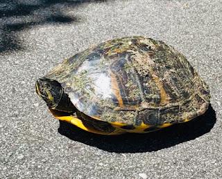 reptile; painted turtle (Eastern); E. picta; Mt. Pleasant; South Carolina; Giorgio Coniglio