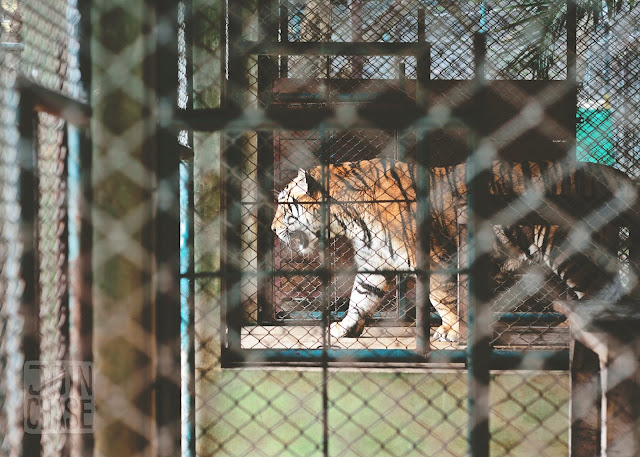 A large tiger inside a cage at Tiger Kingdom near Chiang Mai, Thailand.