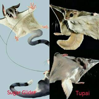 apa itu sugar glider, fakta lengkap sugar glider