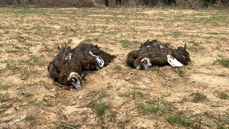 Νεκροί δύο μαυρόγυπες και ένας στικταετός από δηλητηριασμένα δολώματα στο Δάσος Δαδιάς