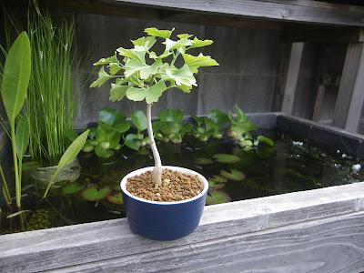 イチョウ 銀杏 ミニ盆栽