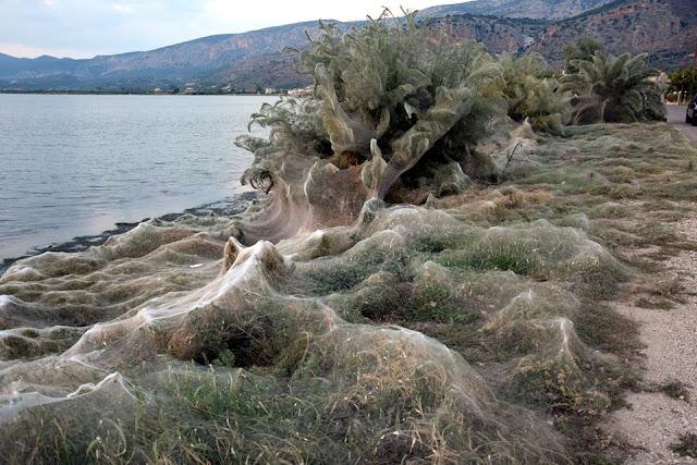 Αιτωλικό: Τεράστιο πέπλο από ιστούς αράχνης κατάπιε 300 μέτρα βλάστησης