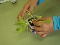 planton lechuga huerto escolar en jardinera