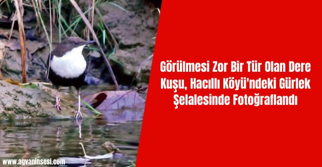 Görülmesi Zor Bir Tür Olan Dere Kuşu, Hacıllı Köyü'ndeki Gürlek Şelalesinde Fotoğraflandı