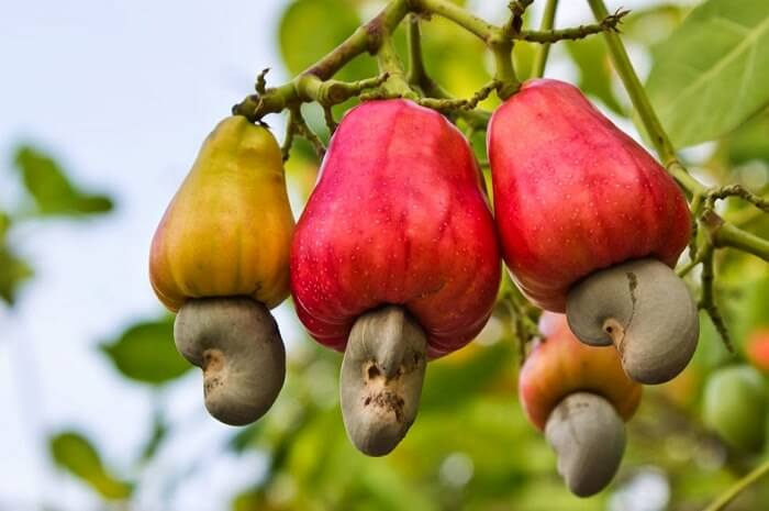 Do You Know Where Food Comes From These 12 Pictures Will Show You - Cashews