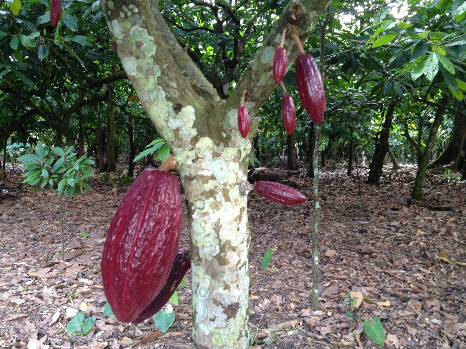 Dominican Series: Organic Cacao Farm - Cooking with Books