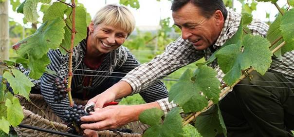 Küresel ısınma sonucu yetişebilen Norveç üzüm bağları