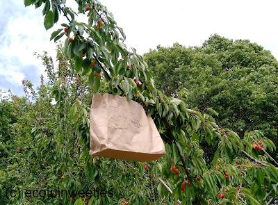 kersen ecologisch beschermen tegen vogels met papieren zakjes van kraftpapier