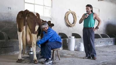 Ordenar una vaca no es tan facil como parece