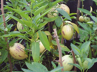Melon Pear Fruit pictures