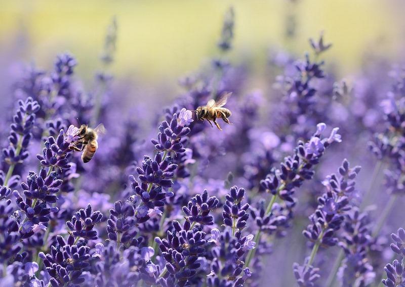 """Lavandula (lavanda) """"SOS polinizadores"""" y las flores favoritas de abejas y abejorros"""