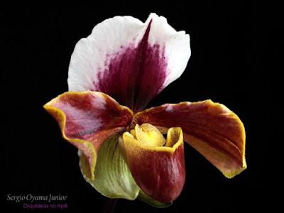 Orquídea Paphiopedilum híbrida