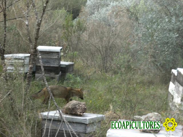 ecoapicultores ecoapi miel sin glifosato zorro en las colmenas