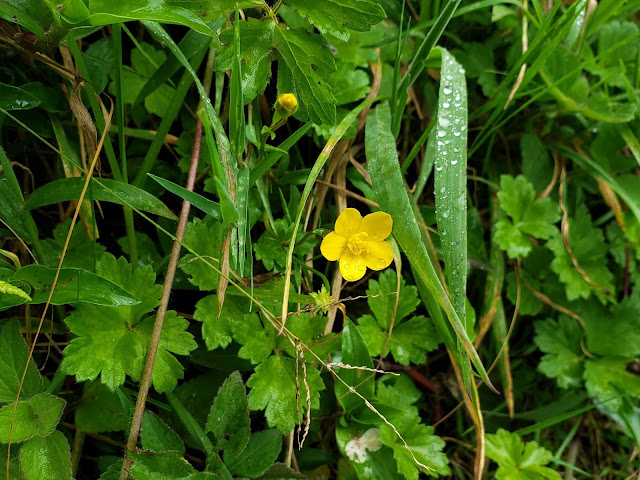 ranunculaceae ranunculus sp1. flower costa rica