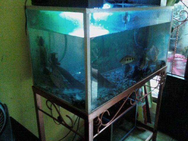 Memilih Akuarium Untuk Ikan Oscar Yang Bagus Dan Merawatnya
