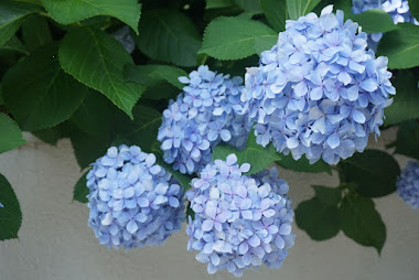 Blue hydrangeas flowers hanging from the plant.