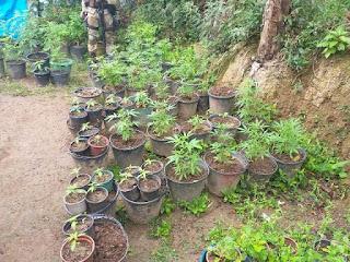 Plantações de drogas
