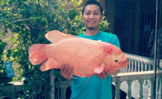 Cara Budidaya Ikan Gurame Agar Cepat Besar Dan Panen Hobinatang