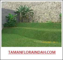 rumput gajah mini yang subur