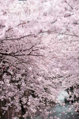 Japanese Flowers Top 10 Flowering Plants Japan All Over Travel Guide