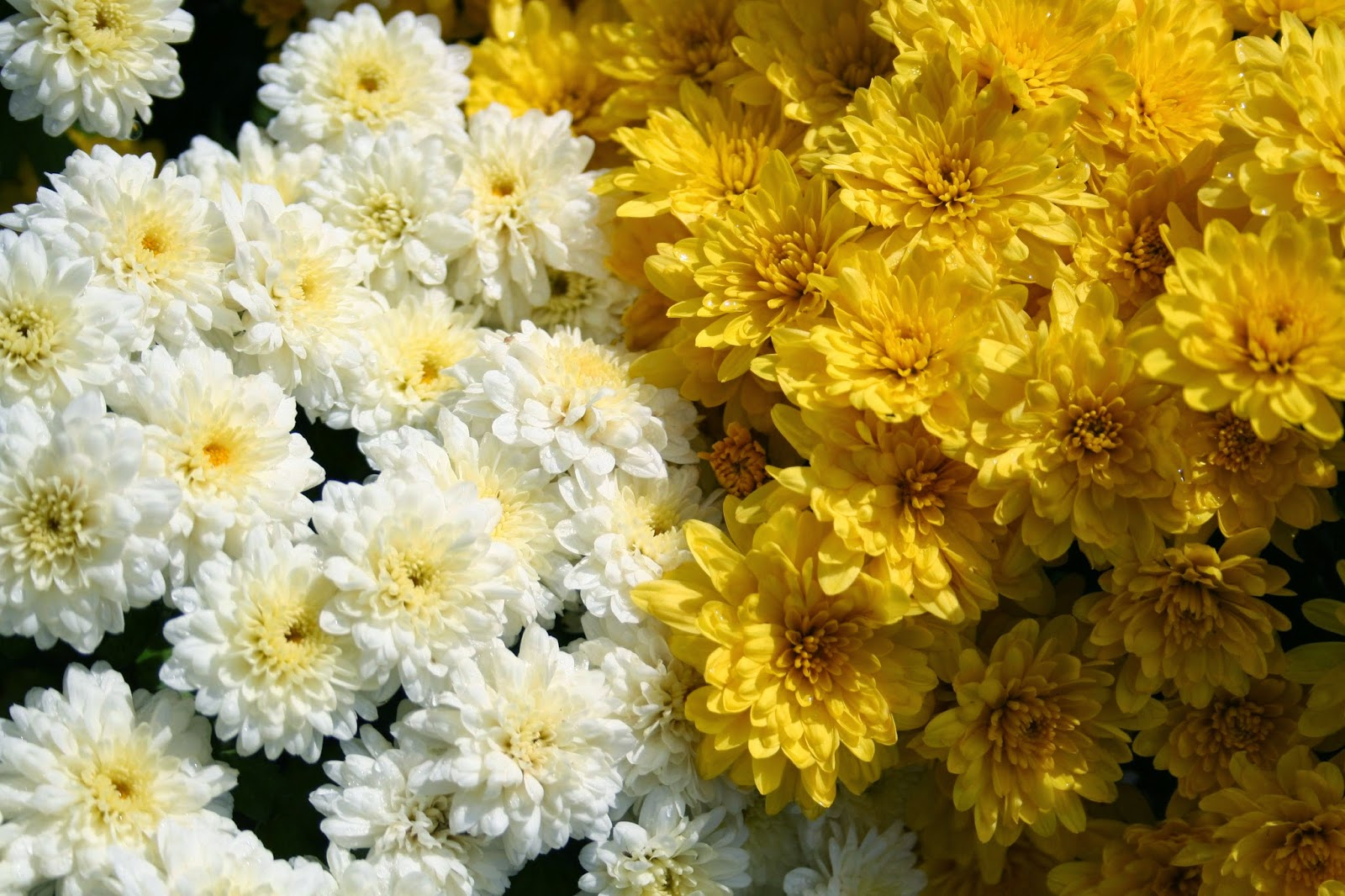 White Chrysanthemum Flower Meaning