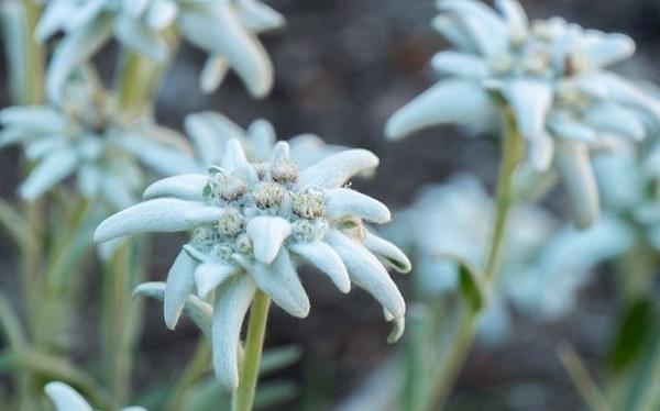 Ciri ciri bunga edelweis