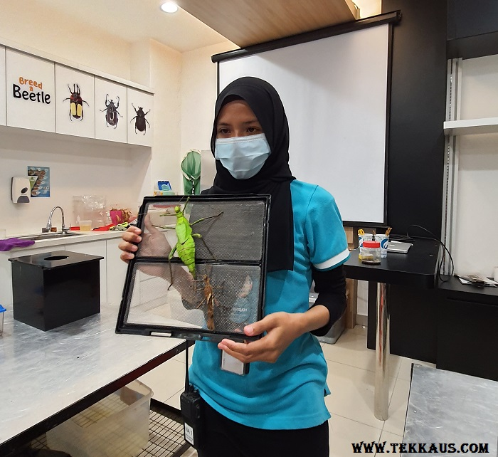 Fun Hour at Entopia Penang-Thorny Stick Insect Female Male