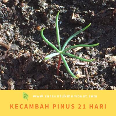 Kecambah Pinus 21 Hari