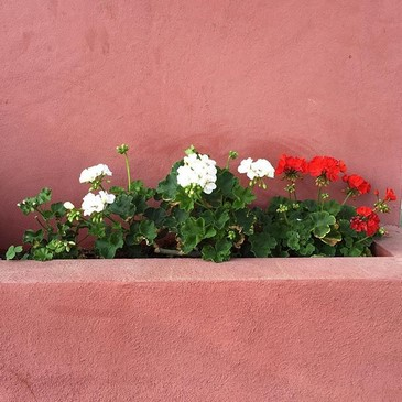 Geranio (Pelargonium zonale) en jardineras