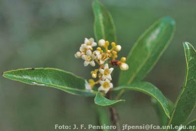flores de guayabi blanco