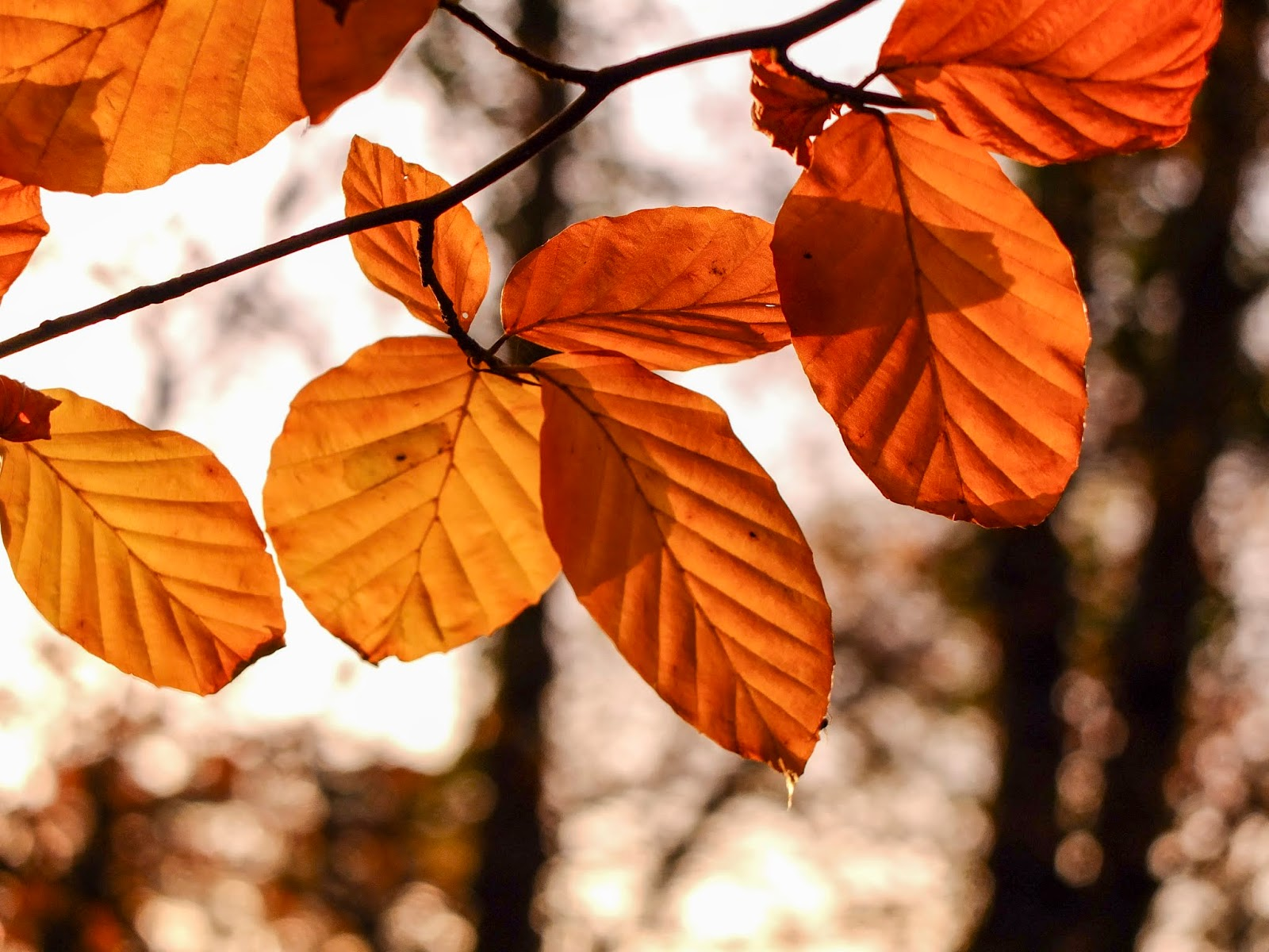Sun light shining through orange leaves on tree branches in North County Cork.