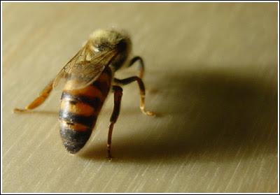 Οι μέλισσες αντικατάστησαν βασίλισσα νεαρής ηλικίας