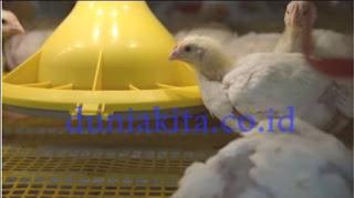 Cara Sukses Ternak Ayam Pejantan Dan Ayam Potong