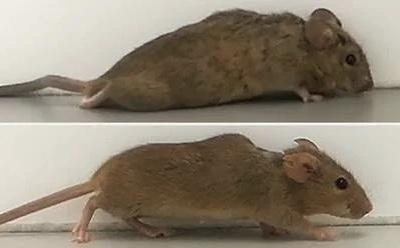 Científicos alemanes hacen que ratones con parálisis vuelvan a caminar