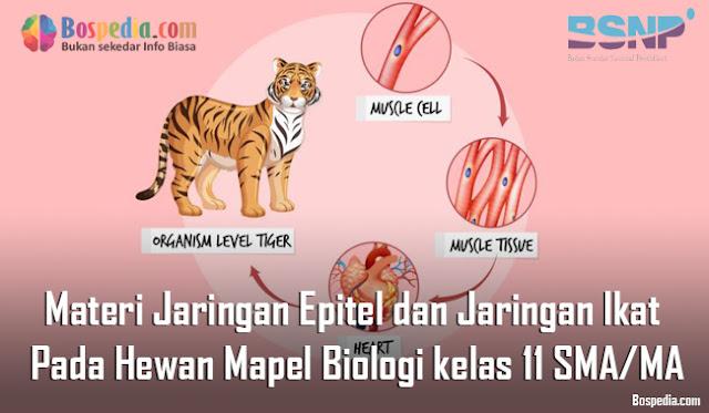 Materi Jaringan Epitel dan Jaringan Ikat Pada Hewan Mapel Biologi kelas 11 SMA/MA