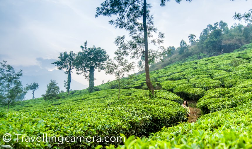 During december we were in Wayanad region of Kerala and planned a day visit to Suchipara Waterfalls. When we drive towards the waterfalls, one need to cross through these beautiful tea gardens. We had various breaks on our way and this Photo Journey shares more about this region of Wayanad.Although Wayanad is full of Tea gardens and coffee plantations, but this part around Suchipara waterfalls is very special. The landscapes are very beautiful and can't be compared with other gardens. This part is relatively hilly.Usually we don't click our own photographs but these lush gardens made us click some of our shots. Our auto-rickshaw driver also requested me to click him photograph :), although he requested us not to post on facebook because he doesn't post any photograph with his auto-dress. This Photograph is only for his family to show that how Suchipara looks like these days.Yes, we were travelling in Auto-rickshaw. 4 days spent in Wayanad and throughout we used Auto-rickshaw for tarvelling. They are cost effective and you enjoy the pleasant weather of Wayanad region.Wayanad is one of the highest producers in India and there are various regions which produce Coffee as well. The place where we were staying was a coffee farm.