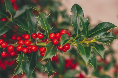 The British Holly Bush or Tree